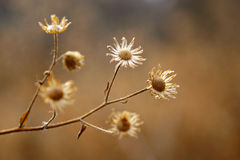 Dry flora. A closeup view of tiny dry flowers Stock Image