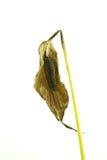 Dry flower 08 Stock Image