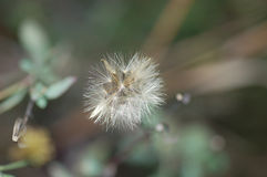 Dry flower. Small dry flower ready to transport by wind to new  places Royalty Free Stock Images