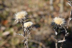 Dry flower on an autumn background.  Royalty Free Stock Photos