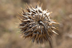 Dry flower in the field. Dry, scratchy flower on the burned field Stock Photos