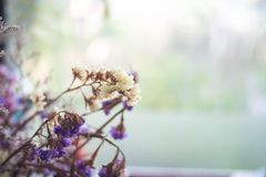 Dry flower in focus with background. Dried Caspia Flowers, Branch of dried flowers decoration Royalty Free Stock Image