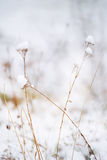 Dry flower in the frost. Dry flower inflorescence covered with white frost in the winter sunny day on natural winter background Stock Photo