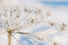 Dry flower in frost Royalty Free Stock Photography