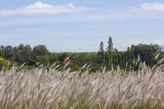 Dry flower grass. Stock Photos