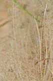 Dry flower of grass in the nature Stock Photos