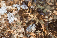 Dry flower hydrangea sprinkled with snow Stock Images