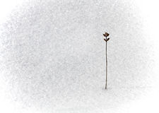 Dry flower on snow Royalty Free Stock Photos