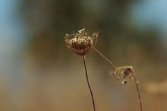 Dry flower with spider webs Royalty Free Stock Images