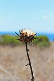 Dry flower. Is standing against the sun at seashore Royalty Free Stock Image