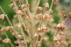 Dry Flower Stems Stock Photography