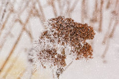 Dry flower of stonecrop with white hoarfrost, macro Stock Images
