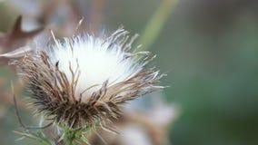 Dry flower thistle flower. Dead Headed Thistle flowers in park stock footage