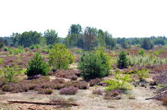 Dry and flowering heather landscape in summertime. Dry and flowering heather landscape in hot summertime Stock Photography