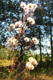 Dry flowers. Air dried flowers fluffy balls Stock Photos