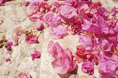 Dry flowers of bougainvillaea Stock Photos