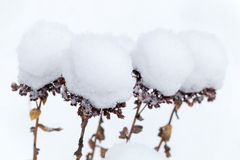 Dry flowers covered with snow balls Royalty Free Stock Photos