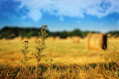 Dry flowers on harvesting field landscape Stock Images