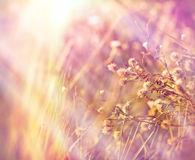 Dry flowers in meadow (dryplants) Royalty Free Stock Photos
