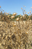 Dry flowers of Milk thistle, Silybum marianum Stock Image