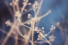 Dry flowers in snow on winter royalty free stock photos