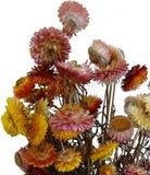 Dry flowers. Dry Xerochrysum bracteatum flower on white background Stock Images