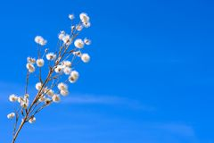 Dry fluffy flower on a background of blue sky Stock Photography