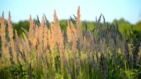 Dry fluffy grass on a background of green leaves. Dry fluffy grass on thin stems swaying in the wind against a background of green trees in a field at sunset in stock footage