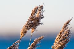 Dry fluffy reed flowers Stock Image