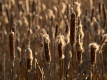 Dry fluffy reeds of bulrush Stock Photos