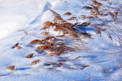 Dry fluffy yellow reeds on white snow background. Top view stock images