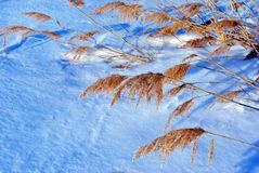 Dry fluffy yellow reeds on white snow background, top view close up. Detail stock photo