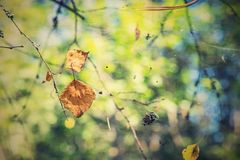 Dry foliage hangs on a web in the autumn wood Royalty Free Stock Images