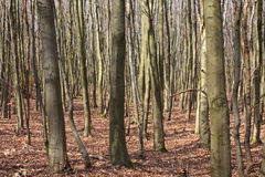 Dry forest. Multiple tree trunks in a endless dry forest stock image
