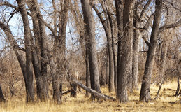 Dry Forest of Cottonwood Trees Royalty Free Stock Photography