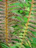 Dry Forest Ferns Stock Photography