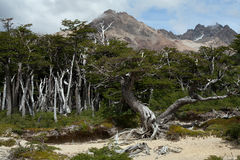 Dry forest in the mountains of Patagonia. Stock Photography