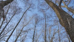 Dry forest treetops trunks against a blue sky nature the landscape stock video footage