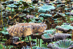 Dry and fresh lotus leave Stock Photography