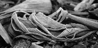 Dry and frost mature corn ears leaves Royalty Free Stock Image