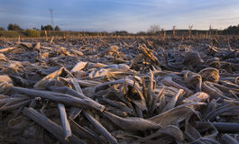 Dry and frost mature corn ears leaves after the harvest Stock Images