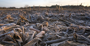 Dry and frost mature corn ears leaves after the harvest. Shot fr Royalty Free Stock Images