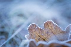Dry and frosted leaf lying on ground. At cold winter or autumnal day. Natural background Stock Photo
