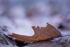 Dry and frosted leaf lying on ground. At cold winter or autumnal day. Natural background Royalty Free Stock Image