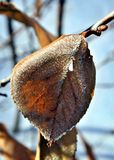 Dry frosted leaf in winter morning sun Stock Photography