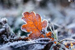 Free Dry Frozen Oak Leaf Natural Background.Cold Frosty Winter Mornings.The First Frosts And Frozen Leaves. Winter Macro Picture.Quiet Royalty Free Stock Photo - 206413855