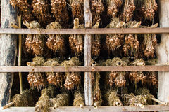 Dry garlic  in the warehouse Stock Images
