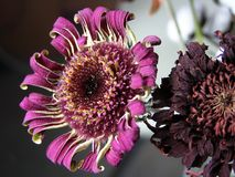 Dry gerbera. Photo for illustration of Dry flowers, plants and herbs Stock Image