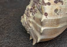 Dry gigantic sea shell. Soft surface inside, rough and textured Stock Image