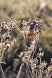 Dry glaserade hösttidväxten på solig morgon Fotografering för Bildbyråer